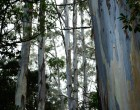 eucalyptus-forest-of-hawaii