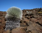 silversword-at-the-haleakala-crater-in-hawaii