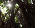 sun-through-the-banyan-tree-in-hilo-hawaii