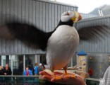 an-excited-puffin-at-the-alaska-sealife-cetner-of-seward-alaska