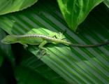 anole-on-a-leaf-in-hawaii