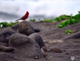 cardinal-in-hawaii
