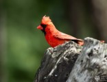 cardinal-on-stump