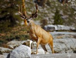 deer-in-sierra-nevada-mountains