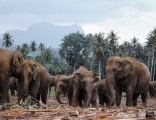 eliphants-of-sri-lanka