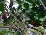 jungle-bird-in-hawaii-2