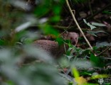 mongoose-in-hawaii